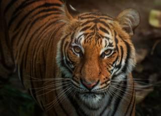 тигр, морда, усы