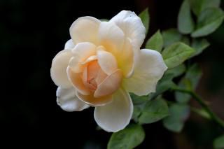 троянди, кущ, квіти