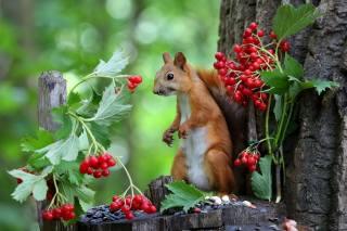 природа, дерево, пень, Животное, зверек, Белка, ветки, калина, ягоды, семечки, боке
