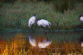 storks, американский клювач, water, grass