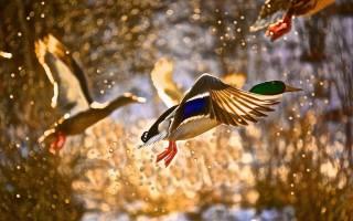 дика, качка, політ, бризки, птиця