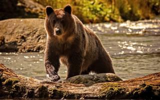бурий ведмідь, вода, тварини
