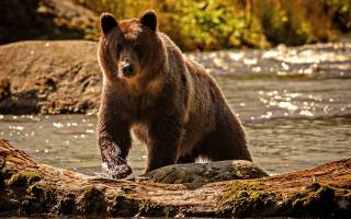 бурый медведь, вода, животные