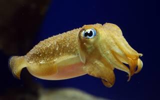 каракатица, підводний світ