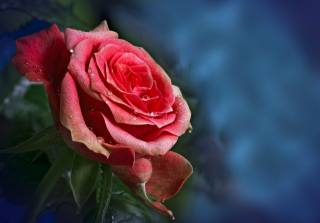 роса, краплі, роза