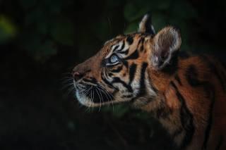 tiger, muzzle, the dark background, portrait
