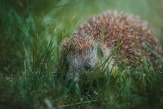příroda, Zvíře, zvířátko, tráva, ježek, Ježek