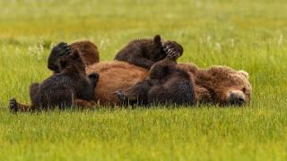příroda, tráva, zvířata, dravci, medvědi, Vůz, medvědí mláďata, rodina
