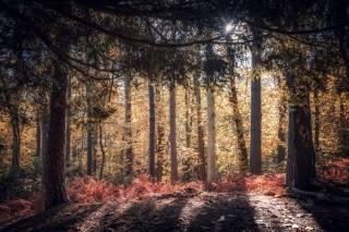 лес, ели, деревья, осень