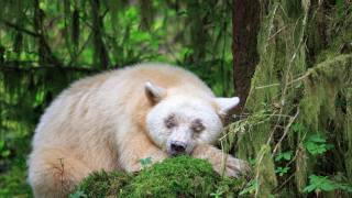 Animal, predator, bear, кермод, nature, moss, forest, thickets