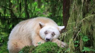 Zvíře, dravec, medvěd, кермод, příroda, mech, les, porosty