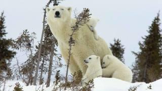 Arktida, příroda, zima, sníh, zvířata, dravci, Lední medvědi, rodina, Vůz, medvědí mláďata, mláďata