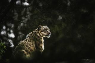 леопард, снег, зима, животные