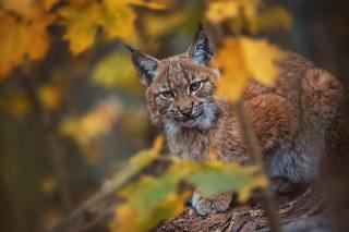 рысь, взгляд, морда, животные, портрет, листья, осень