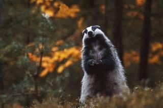 Zvíře, Jezevec, držení těla, hodin, příroda, les, podzim