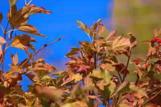 небо, ветки, ягоды, листья