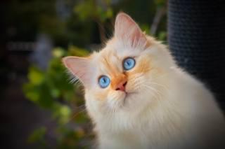 кошка, взгляд, портрет, мордочка, голубые глаза