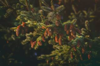 spruce, needles, cones