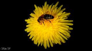 цветок, бджола, красиво