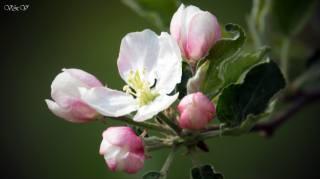 цвет яблони, красиво, для души