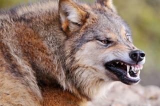 волк, хищник, морда, оскал, клыки