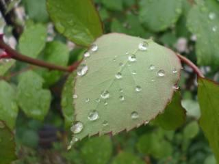 дождик, листья, роза, капли, Май