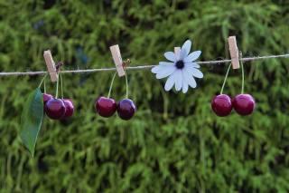вишня, цветок, ромашка