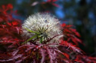 nature, Red, dandelion, Japanese maple, tree, autumn, sheet, flora, flower, ботаника