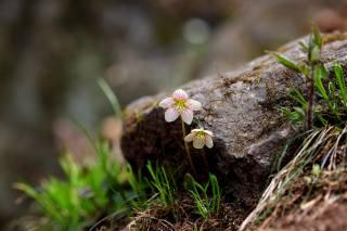 nature, spring, flowers, primroses, grass, log, bokeh