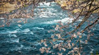 nature, spring, river, branches, flowering