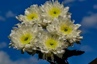 chrysanthemum, bouquet, flowers