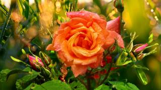 příroda, květina, růže, poupata, boke