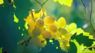 grapes, leaves, vine, summer
