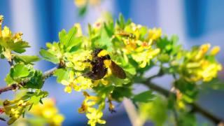 bumblebee, flowers, branch