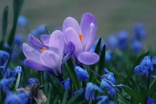 nature, spring, primroses, snowdrops, crocuses