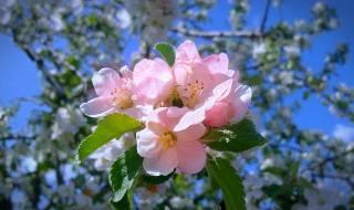 spring, flowering, Apple