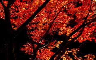 Maple, leaves, trees, autumn