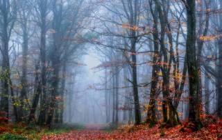 trees, fog, nature