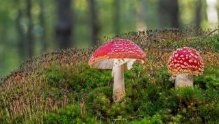 гриби, мухомор, мох, двоє, природа