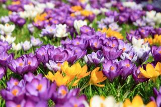 flowers, crocuses
