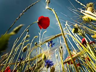 природа, лето, колосья, цветы, маки, васильки