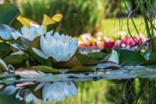 кувшинка, Bílá, květy, rybník