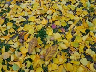горіхи, листя, Листопад