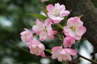 nature, spring, tree, Apple, flowering