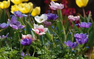 květiny, okvětní lístky, multi-barevné, sasanky, ветреница
