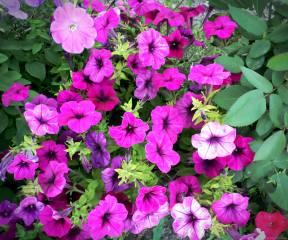 Petunia, paint, summer