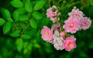 pink roses, green leaves, spring