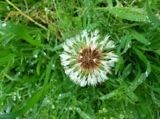 dandelion, the rain, May