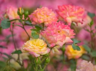květiny, růže, krása
