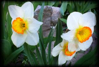 Narcissus, April, виньетка